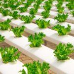 「水耕栽培」の野菜って危険?土耕栽培と何が違うの?